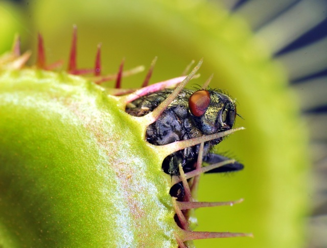 Venus flytrap has several mechanisms to save energy