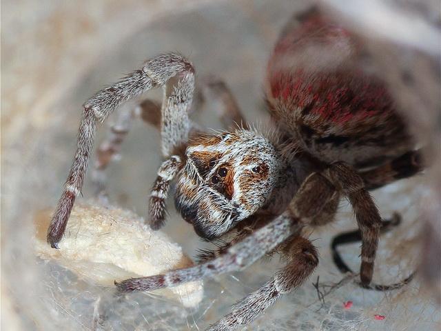 maagdelijke vrouwtjes van spin Stegodyphus dumicola offeren zich op voor de jongen van andere vrouwtjes
