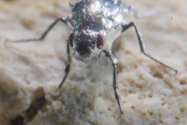 alkalivlieg overleeft in het zoute Mono Lake