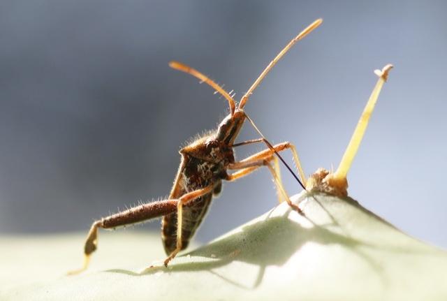 male Narnia femorata that dropped a leg grows larger testes