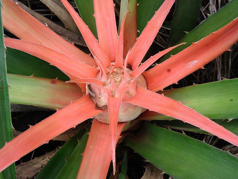 Bromelia met vlammend hart beschermt springspin Psecas chapoda tegen vlammen