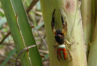 Springspin Psecas chapoda leeft op Bromelia balansae
