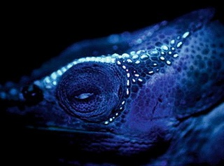The glowing tubercles of Calumma crypticum become visible under UV light