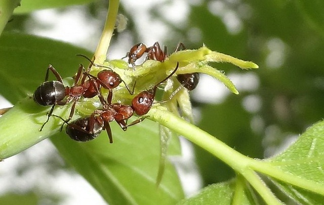 mutualism of ants and aphids: protection for honeydew
