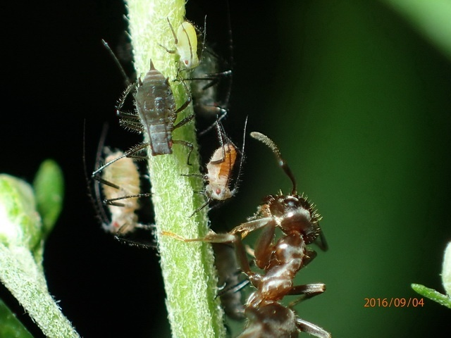 Lasius japonicus tending its two-coloured livestock