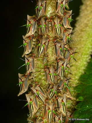 Nymphs of treehopper Alchisme grossa receive maternal care throughout development