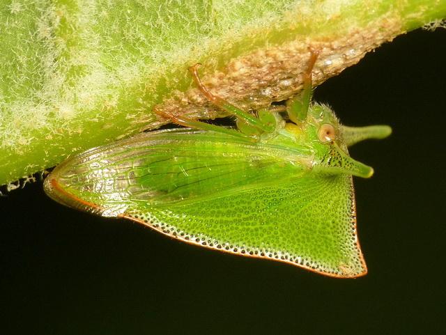 Vrouwtje van de bochelcicade Alchisme grossa bewaakt haar eitjes