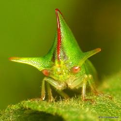 bochelcicade Alchisme grossa: vrouwtjes vertonen uitgebreide broedzorg