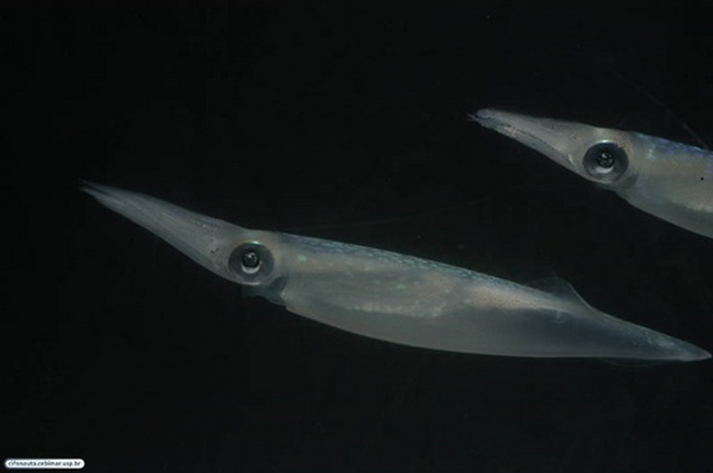 Males in the squid Doryteuthis pleii adopt alternative mating tactics, depending on their age