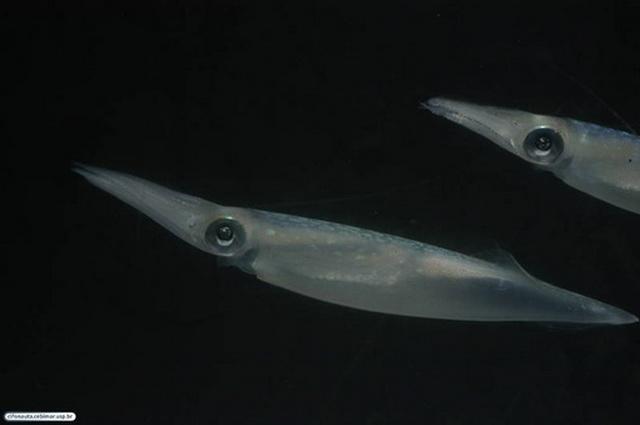 mannetjes van pijlinktvis Doryteuthis pleii maken een complexe ontwikkeling door