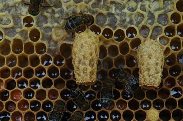 Koninginnengelei voedt een koninginlarve en plakt haar vast in haar cel