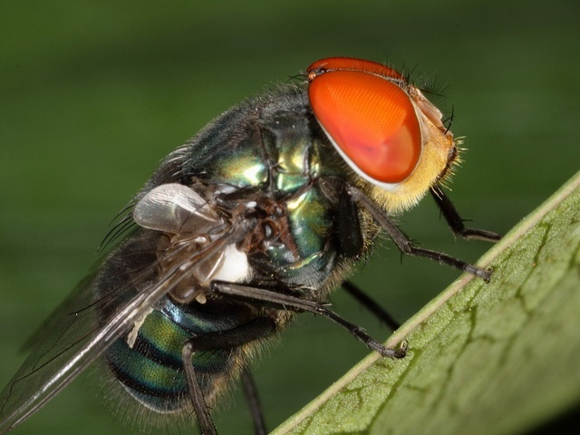 blowfly cools down by bubbling behaviuour