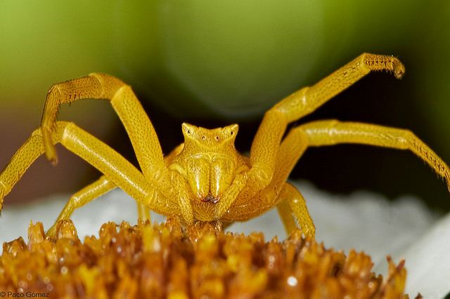 Krabspin grijpt bloembezoekers
