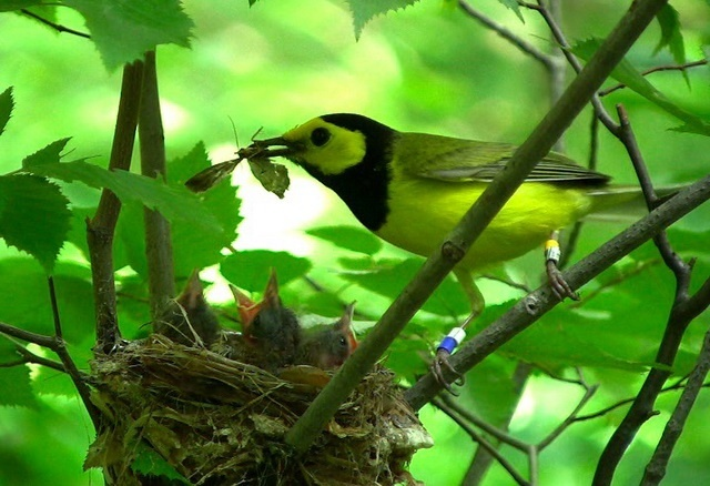 When a Hooded Warbler male initiates moulting while still having dependent young, he often deserts