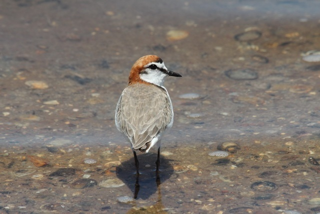 male red-capped plover will provide more parental care to daughters