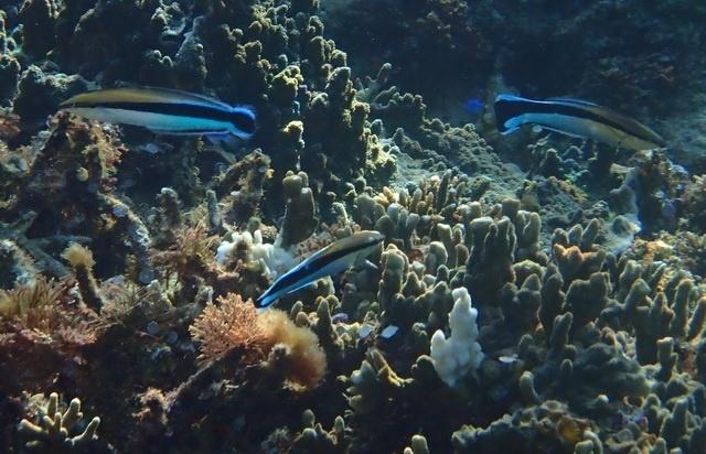 False cleanerfish resembles bluestreak cleaner wrasse