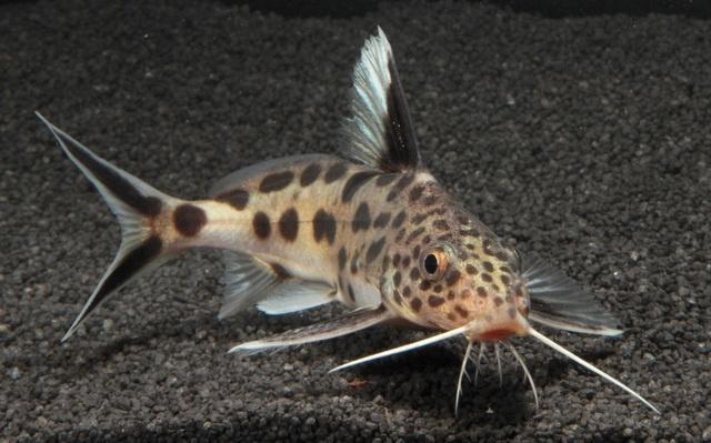 cuckoo catfish parasitizes on cichlid species