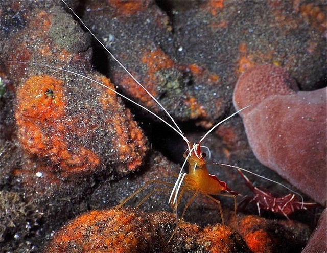 Cleaner shrimp helps wound healing
