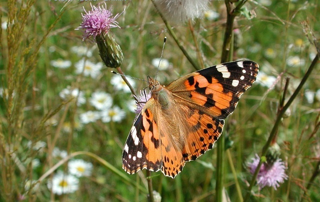 painted lady is long-distance traveller