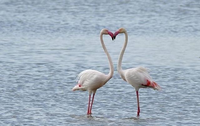 Flamingos prefer colourful mates