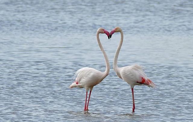 Flamingo kiest kleurrijke partner