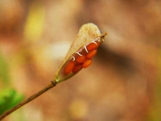 zaden van herderstasje lokken en doden kleine bodemdiertjes