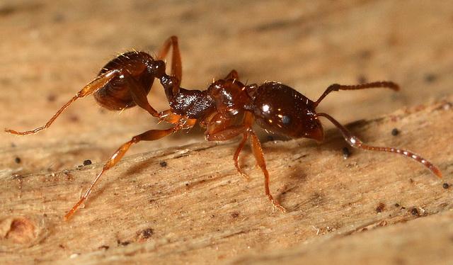 Mier Aphaenogaster subterranea gebruikt gereedschap om voedsel te halen