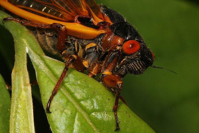 Magicicada species are manipulated by the fungus Massospora