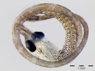 embryo zeenaald
