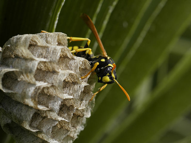 The paper wasp Polistes dominula is host to a manipulating parasite, Xenos vesparum