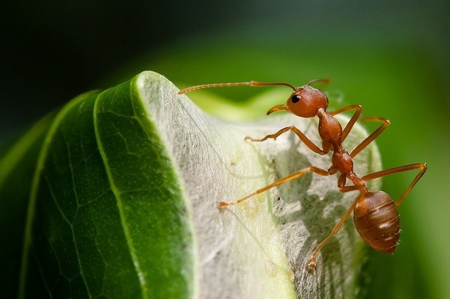 a weaver ant on its nest