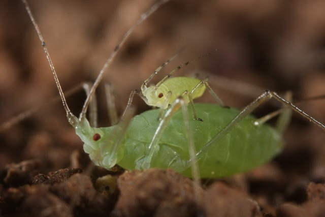 young pea aphid hitches a ride on an adult