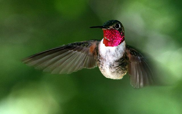 broad-tailed hummingbird male performs spectacular dive