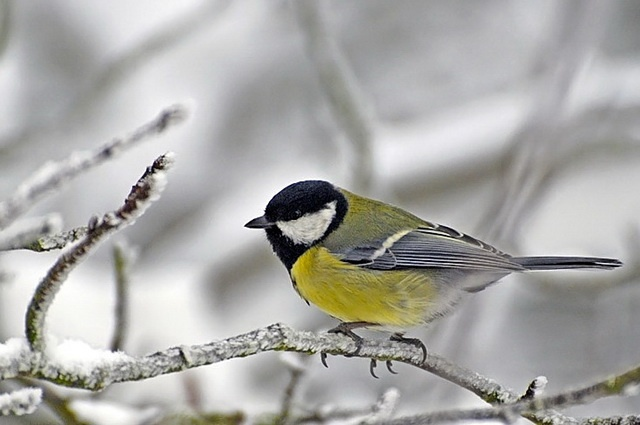 The corage of a great tit depends on its body size and condition