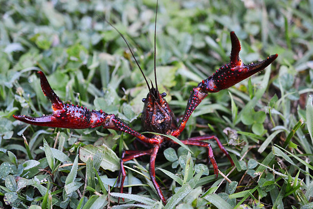 red swamp crayfish is anxious when moulting