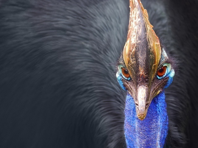 thanks to its helmet, the southern cassowary can offload excess heat
