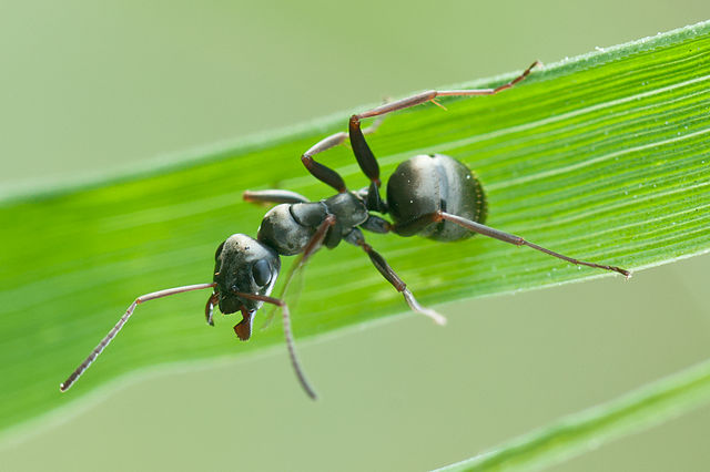 The ant Formica fusca can resist parasites