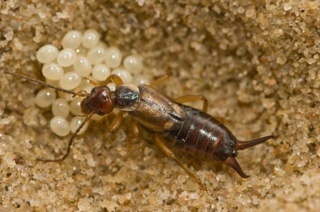 earwig female cares for another female's offspring