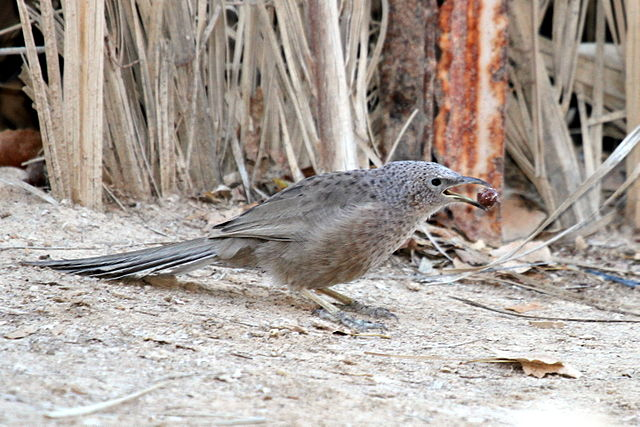 Arabian babbler invites partner in an unobtrusive way