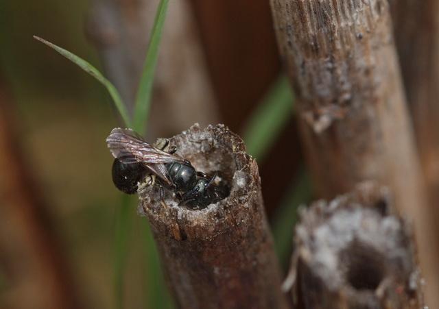 Bij de bij Ceratina nigrolabiata zorgen mannetjes voor de nakomelingen van anderen