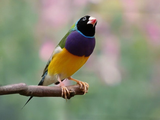 Black-headed Gouldian finch is most courageous