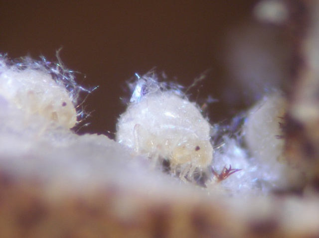 Soldier nymphs in Nipponaphis monzeni repair their nest with their body fluid