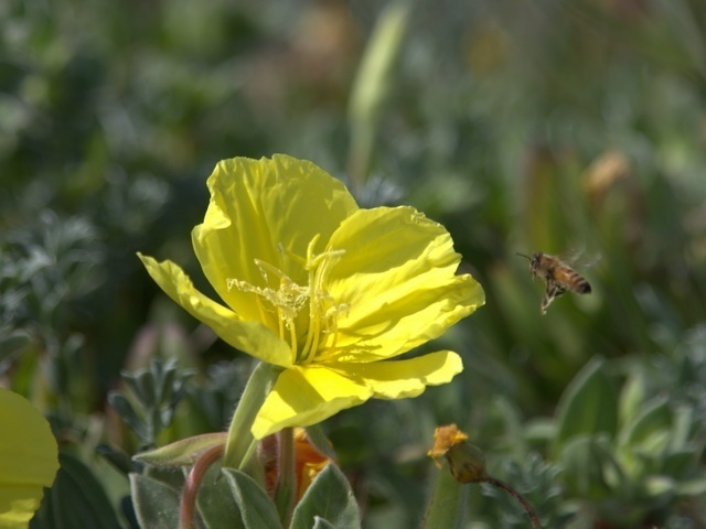 beach evening primrose detects a bee approaching