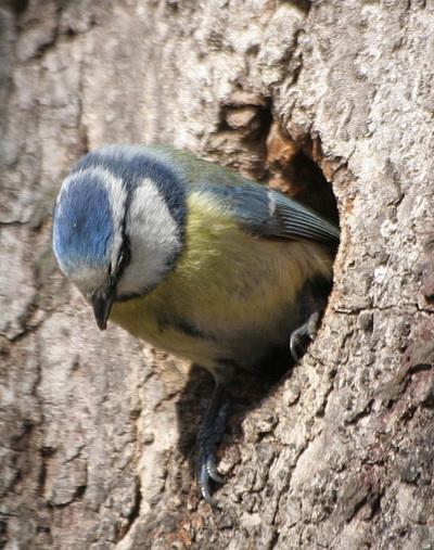 Pimpelmezen verstoppen de eieren in hun nest als er een roofdier in de buurt is