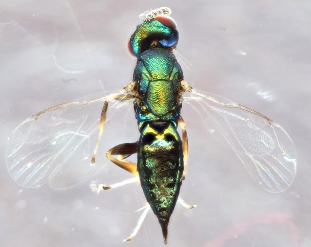Parasitoid wasp Euderus set manipulates its host into performing a nasty task