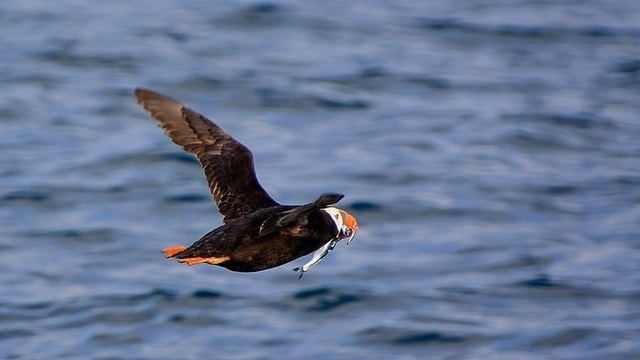Flying is strenuous in tufted puffin