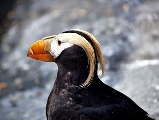 bill helps tufted puffin to cool down