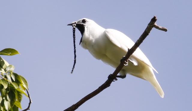 Witte klokvogel is kampioen schreeuwen