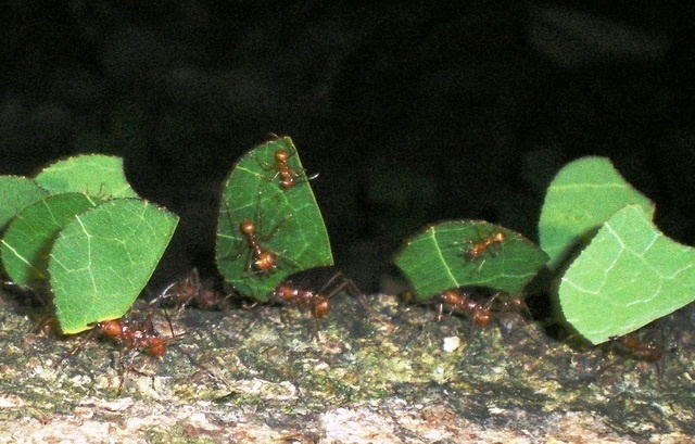 leaf cutter ants carry small leaf fragments on crowded trails