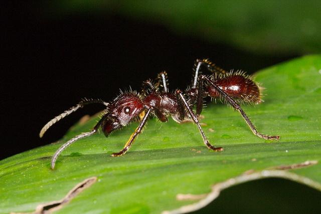 Vervaarlijke kogelmier Paraponera clavata tolereert angelloze bij